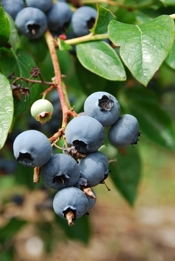 how to prepare blueberries to eat