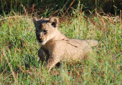 8 wek old cub
