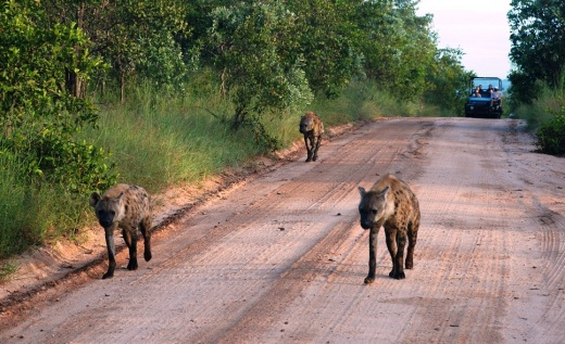 hyenas on the road