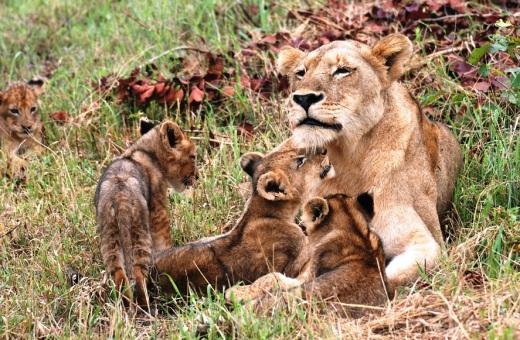 lioness + 4 cubs