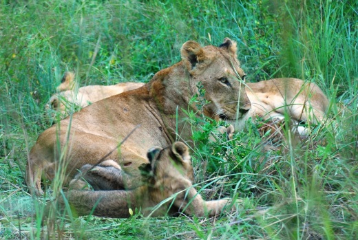 lioness + cubs