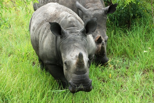 rhino face