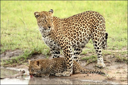 A leopard and cub at Savanna Lodge (from the Savanna Lodge blog)