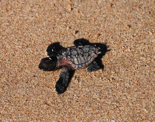 The tired baby turtle attempting to make it to the Indian Ocean.