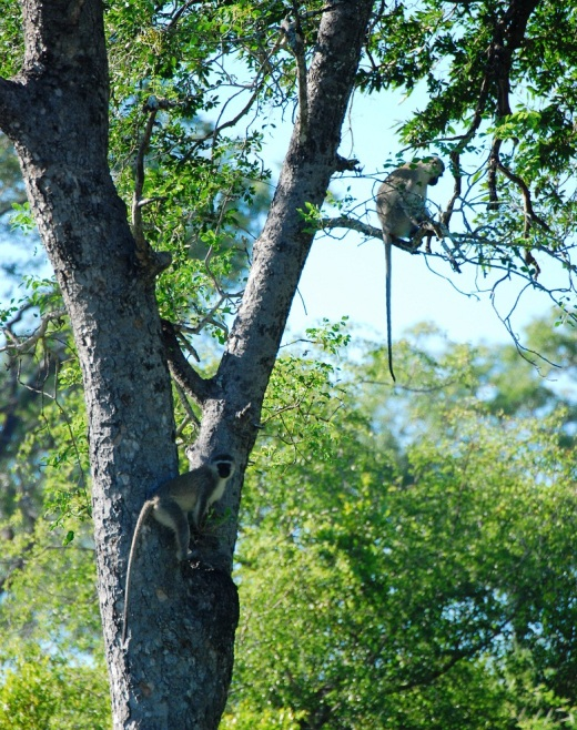Vervet monkeys in the trees by the Sand River