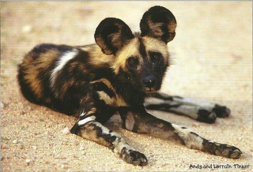 Wild Dog postcard