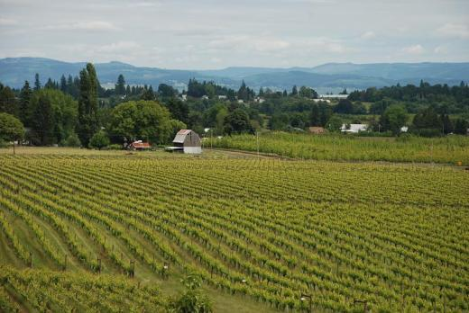 The view from the Montinore Vineyards