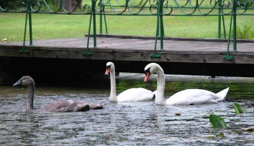 Swans in the gardens and parks of Drottningholm