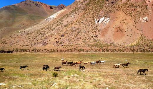 A gaucho herding horses and mules near the pass on the Argentinian side