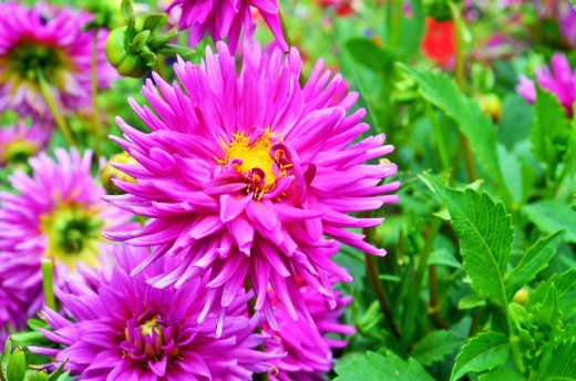 The blueberry farm also sold dahlias for 25 centers per stem