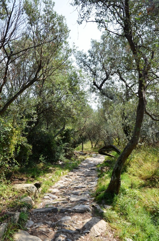 The trail wound through some groves of olive trees towards the end near Corniglia.