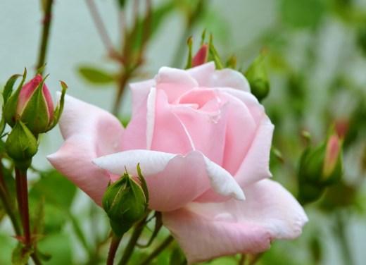Roses in my Aunt Ruth's garden