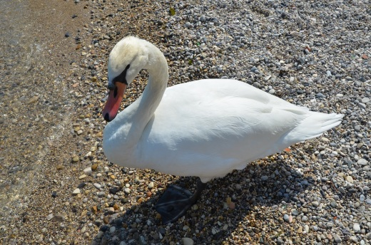 One of the many swans on the lake