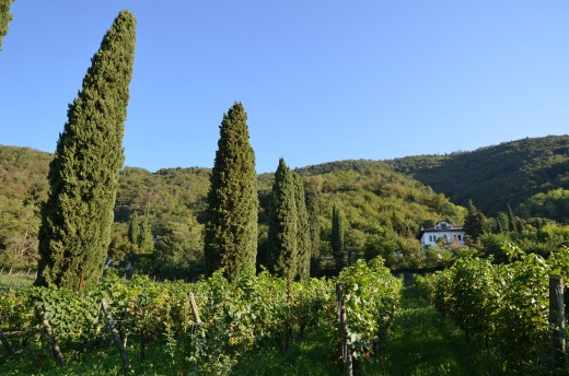 Villa Barberina vineyard