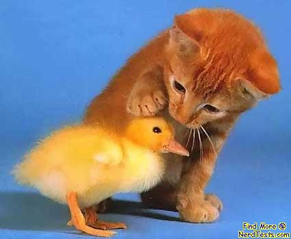 Kittenand baby duck, also pretty cute