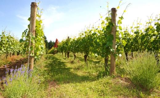 Patton Valley vines