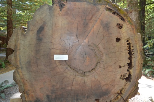 A cross section of a big tree at the visitor's center