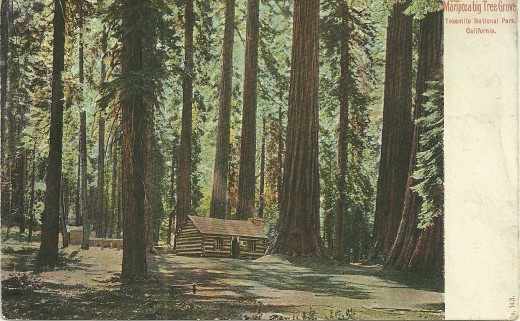 A photograph of Mariposa big Tree Groves, Yosemite National Park, California, turned into a postcard. It was also printed in Germany, and postmarked May 1909.