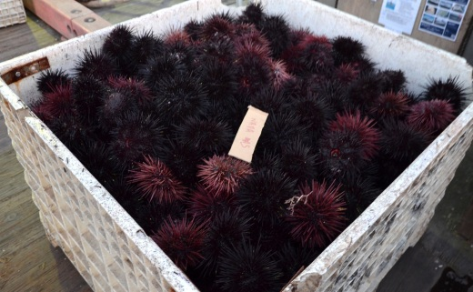 Freshly caught Sea Urchins