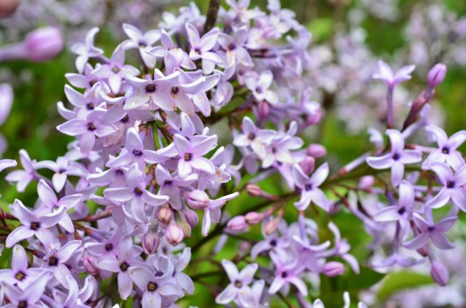 good lilac