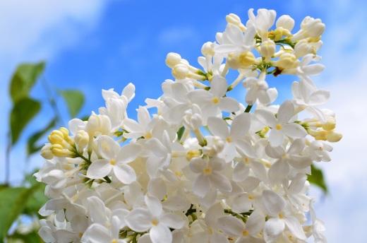white lilac, blue sky