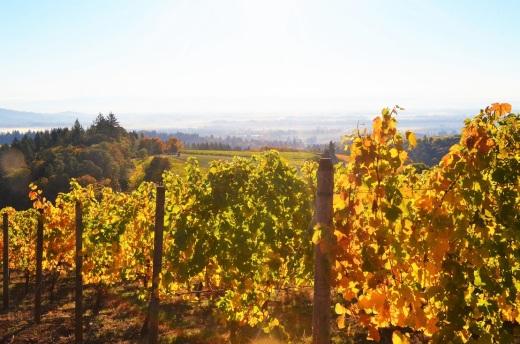 Willamette Valley vines